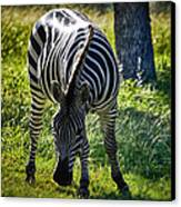 Zebra At Close Range Canvas Print by Kelly Rader
