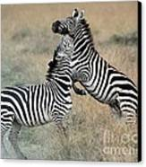 Zebras Fighting Canvas Print by Alan Clifford