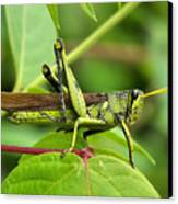 A Hopper Canvas Print by Karen Scovill