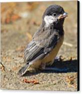 Baby Chickadee Canvas Print by Naman Imagery
