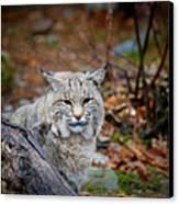 Bobcat Canvas Print by Jim DeLillo