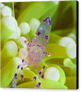 Commensal Shrimp On Green Anemone Canvas Print by Steve Jones