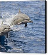 Dolphins Leaping Canvas Print by Dave Fleetham - Printscapes