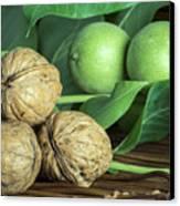 Green And Ripe Walnuts. Studio Shot Canvas Print
