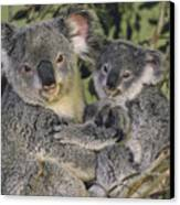 Koala Phascolarctos Cinereus Mother Canvas Print by Gerry Ellis