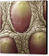 Komodo Dragon Skin, Sem Canvas Print by Steve Gschmeissner