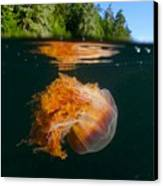 Lions Mane Jellyfish Swimming Canvas Print by Paul Nicklen