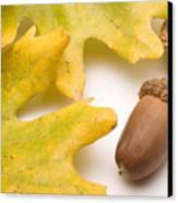 Oak Leaves And Acorns Canvas Print by Utah Images