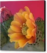 Orange Cactus Blossom  Canvas Print