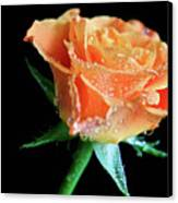 Orange Peach Rose Canvas Print by Tracy Hall