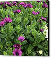 Osteospermum Flowers Canvas Print by Erin Paul Donovan
