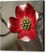Red Dogwood Canvas Print