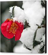 Snow Bloom Canvas Print by Suzanne Gaff