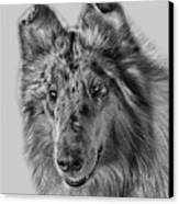 Standard Collie Canvas Print