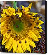 Sunflower Covered In Ladybugs Canvas Print by Garry Gay