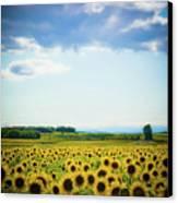 Sunflowers Canvas Print by Kirstin Mckee