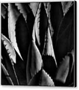 Sunlit Cactus Canvas Print by David Patterson