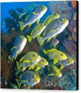Yellow And Blue Striped Sweeltip Fish Canvas Print by Mathieu Meur