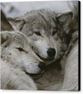 A Couple Of Gray Wolves, Canis Lupus Canvas Print by Jim And Jamie Dutcher