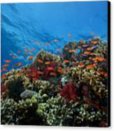 A School Of Orange Basslets Canvas Print by Terry Moore