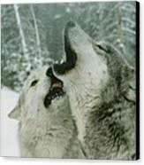 An Alpha Male Gray Wolf, Canis Lupus Canvas Print by Jim And Jamie Dutcher
