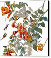 Audubon: Hummingbird Canvas Print by Granger