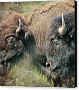 Bisons Canvas Print by Iris Greenwell