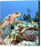 Hawksbill Turtle Feeding On Sponge Canvas Print by Karen Doody