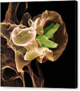 Macrophage Engulfing Tb Bacteria, Sem Canvas Print by
