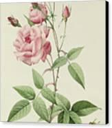 Rosa Indica Vulgaris Canvas Print by Pierre Joseph Redoute