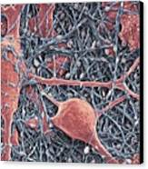 Nerve Cells And Glial Cells, Sem Canvas Print by Thomas Deerinck, Ncmir