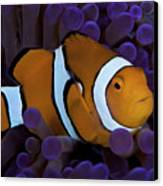 False Ocellaris Clownfish In Its Host Canvas Print by Terry Moore