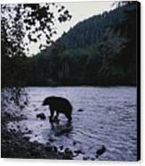 A Black Bear Searches For Sockeye Canvas Print by Joel Sartore