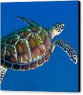A Black Sea Turtle Off The Coast Canvas Print by Michael Wood