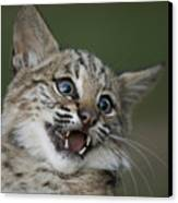 A Bobcat At A Wildlife Rescue Members Canvas Print by Joel Sartore