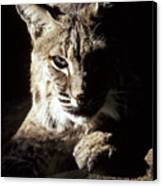 A Bobcat Sitting In A Ray Of Sun Canvas Print by Jason Edwards