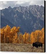 A Buffalo Grazing In Grand Teton Canvas Print