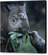 A Captive Sumatran Rhinoceros Canvas Print by Joel Sartore