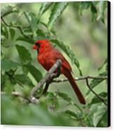 A Cardinal Day Canvas Print