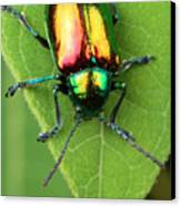 A Dogbane Leaf Beetle, Canvas Print by George Grall