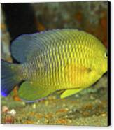 A Dusky Damselfish Offshore From Panama Canvas Print by Michael Wood