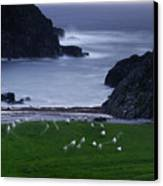 A Flock Of Sheep Graze On Seaweed Canvas Print