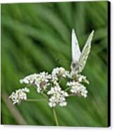 A Green-veined White (pieris Napi) Canvas Print by John Edwards