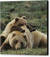 A Grizzly Bear Cub Stretches Canvas Print