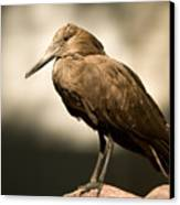 A Hammerkop At The Lincoln Childrens Canvas Print by Joel Sartore