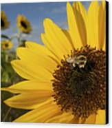 A Honey Bee Visiting A Sunflower Canvas Print