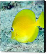 A Juvenile Blue Tang Searching Canvas Print