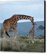 A Mother Giraffe Nuzzles Her Baby Canvas Print