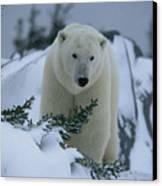 A Polar Bear In A Snowy, Twilit Canvas Print