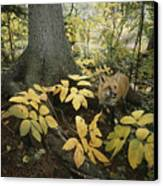 A Red Fox On Isle Royale In Lake Canvas Print by Annie Griffiths